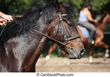 Bay horse with bridle portrait during riding lesson