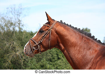 Bay horse with bridle portrait in summer - Bay latvian sport...