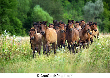 Bay horses run in meadow