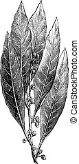 Bay Laurel or Laurus nobilis, vintage engraving - Bay Laurel...