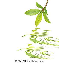 Bay Leaf Beauty - Bay leaf herb sprig reflected over rippled...