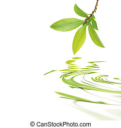Bay leaf herb sprig with reflection over rippled water, against white background. (saliva officinalis)