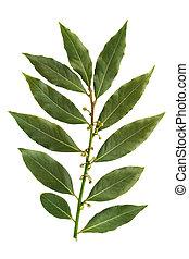 Bay leaf isolated on white background - Bay leaf-fragrant...