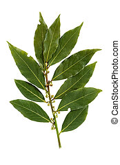 Bay leaf isolated on white background - Bay leaf-fragrant...