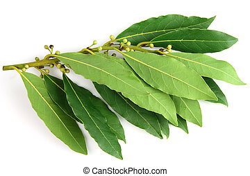 Bay leaves - Fresh bay leaves