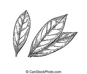 Bay Leaves Laurus Nobilis Or Sweet Bay Vintage Engraving Bay