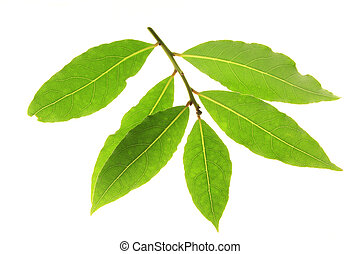 bay leaves (Laurus nobilis) - bay leaves against a white...