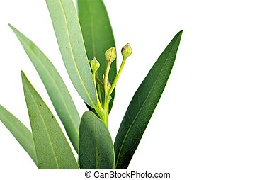 Bay Leaves Isolated on White Background. Bay Leaves Closeup...