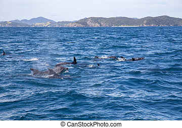 Bay of Islands Dolphins - Dolphins swimming at the surface ...