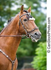 Bay polo pony close up vertical portrate in traditional a...