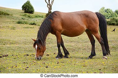 Bay pony in foal grazing in the New Forest - Bay pony in...
