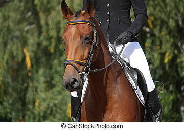 Bay sport horse portrait during dressage competition
