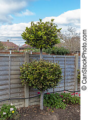 Bay tree in a flower bed in the garden with a wooden fence behind.