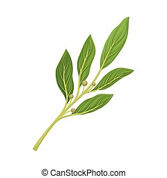 Bay Twig as Kitchen Herb for Cooking Vector Element