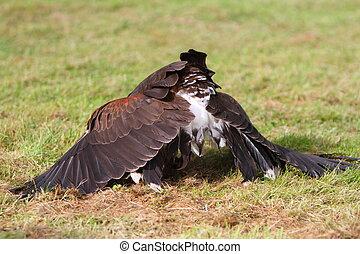 Bay winged hawk or Harris's Hawk mantling its kill