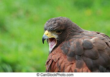 Bay winged Hawk