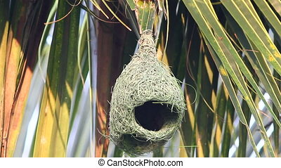 Baya Weaver Bird - Baya weaver bird building up the new nest