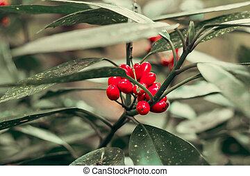 bayas, árbol, rojo