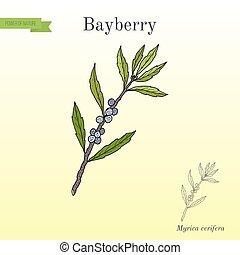 Bayberry Myrica cerifera , medicinal plant