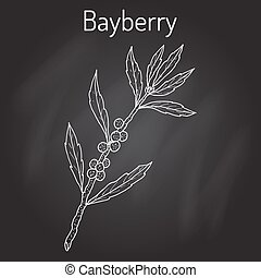 Bayberry Myrica cerifera , or southern wax myrtle, candleberry, tallow shrub.