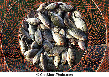 Be destination to die - Small tilapia fish Be destinated to ...