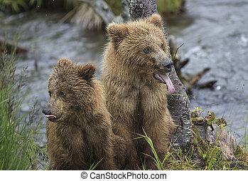 Be patient young bears - Katmai Brown Bear yearlings waiting...