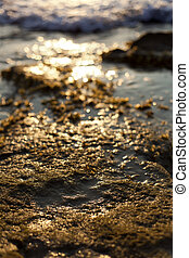Beach Algae at Sunset - Shallow depth of field close up of...