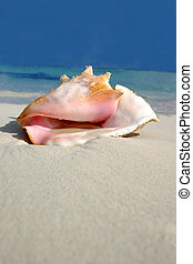Beach Conch Series - Conch on white sand beach, Riviera...