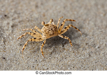 Beach crab on the sand