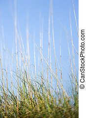 Beach grass.