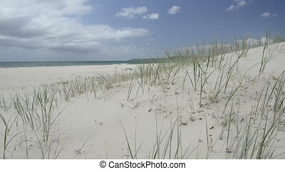 Beach Grass - Green grass blows gently in the wind at the...