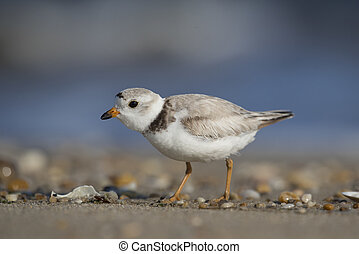 Beach Piping Plover