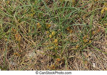 "Dwarf sedge - Beach plant ""Dwarf sedge (Carex pumila)"""
