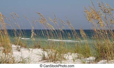 Beach Sea Oats Seagulls - Sea oats blow in the wind on the...
