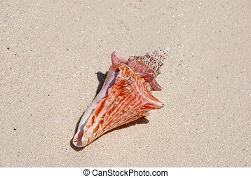 Beach sea shell
