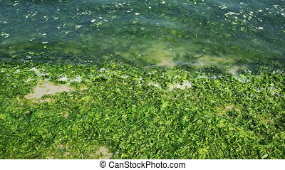 beach shoreline overgrown green algae covered .