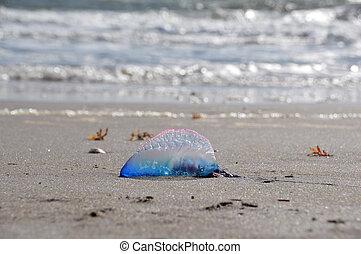 Beached Portuguese Man o' War - A beached Atlantic...