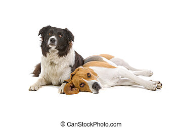 beagle and a border collie dog