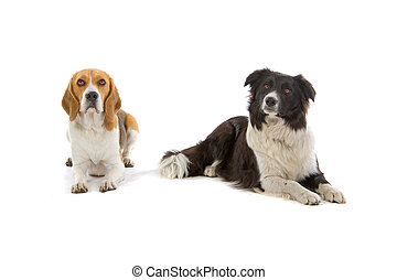 beagle and a border collie dog
