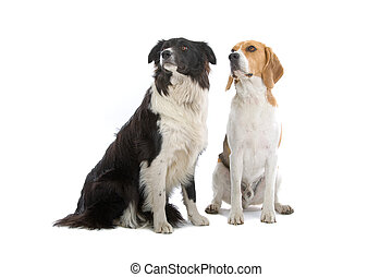 beagle and a border collie i