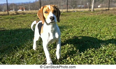 Beagle approaching the camera, slow motion