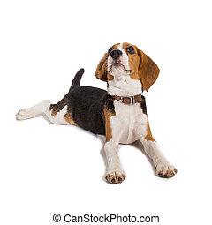 beagle, auf, a, weißer hintergrund