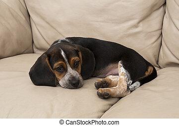 beagle, auf, gekräuselt