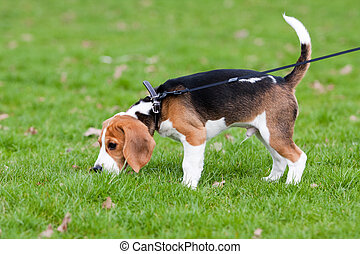 beagle, auf, grünes gras