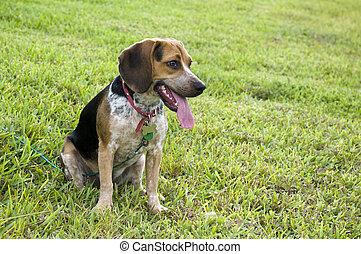beagle, auf, gras