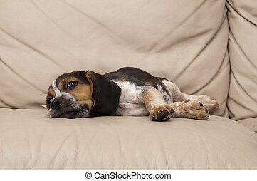 beagle, aufzeichnend