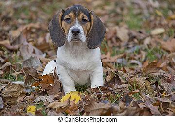 beagle, basset, junger hund, in, blätter