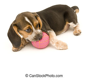 beagle, boule caoutchouc