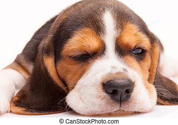 beagle, branca, filhote cachorro, fundo