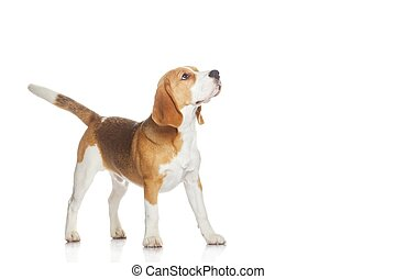 beagle, branca, filhote cachorro, isolado, fundo